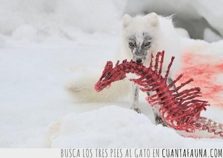 artico,blanco,comer,comida,esqueleto,huesos,nieve,sangre,zorro