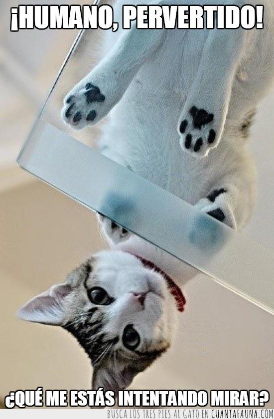 abajo,cola,cristal,gato,pervertido,ver