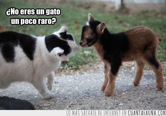 cabra,cabrita,gato,peludo,raro,reconocer