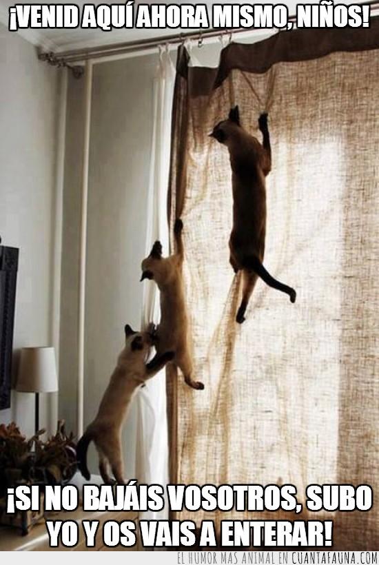 cortina,escalar,gatos,madre,subir,trepar,tres huir