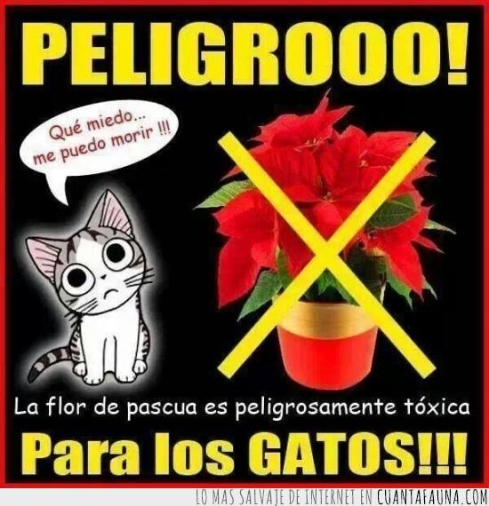 flor,gato,matar,pascua,planta de navidad,toxica