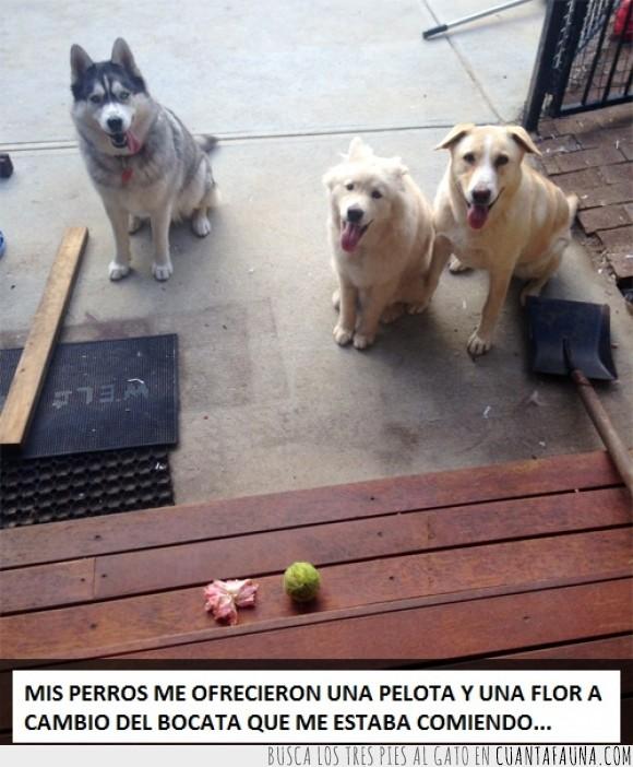 bocata,flor,hibiscus,pelota,perro,regalo,traer