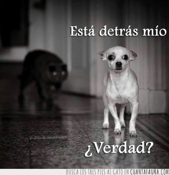 atacar,bueno perrito,chihuahua,detras mio,perro