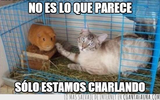 charlar,cobaya,gato,jaula,jugar