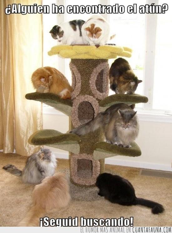 atun,buscar,equipo,estructura,gatos