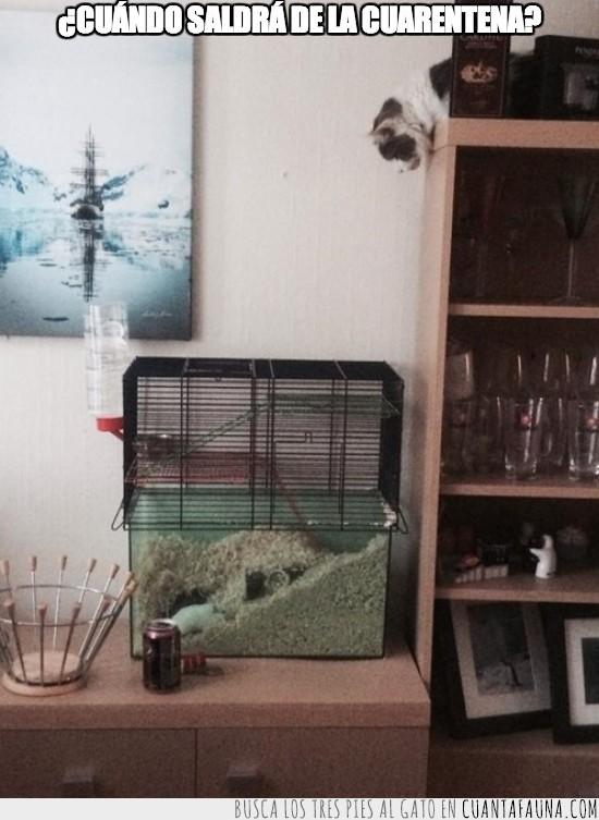 ataque,cuarentena,esperar,hamster,jaula,ratones