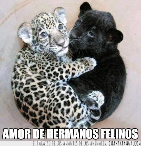 abrazo,felinos,jaguar,manchas,negro,pantera