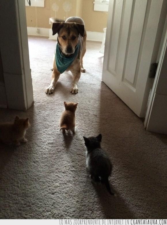 cachorro,can,felino,gato,humor,juego,mascotas,perro