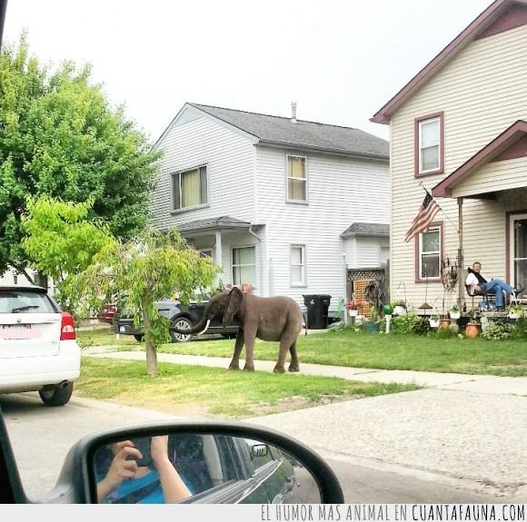 elefante,jardín,mascota,paquidermo,paseo,pastar,vecindario