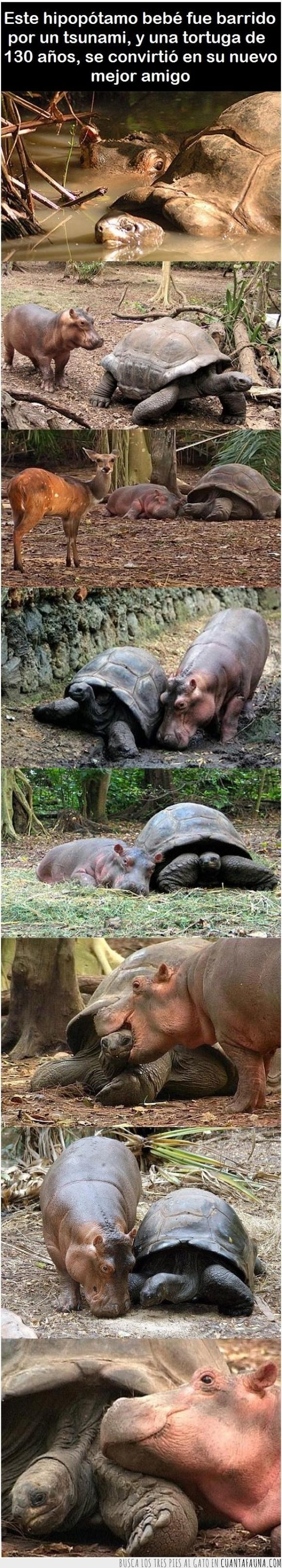 amigos,amistad,animales,ayudar,hipopótamo,salvar,tortuga,tsunami