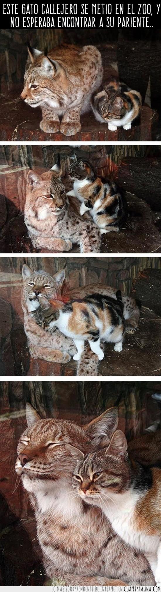 amistad,amor,felino,gato,lince,zoo