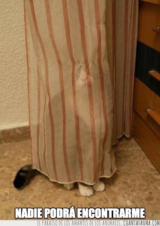 cortinas,esconder,gato,hermoso,jugar,mejor,patitas,trasparente