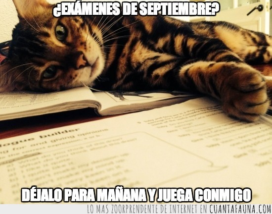 bengalí,estudiar,examenes,gato,jugar,leo,septiembre