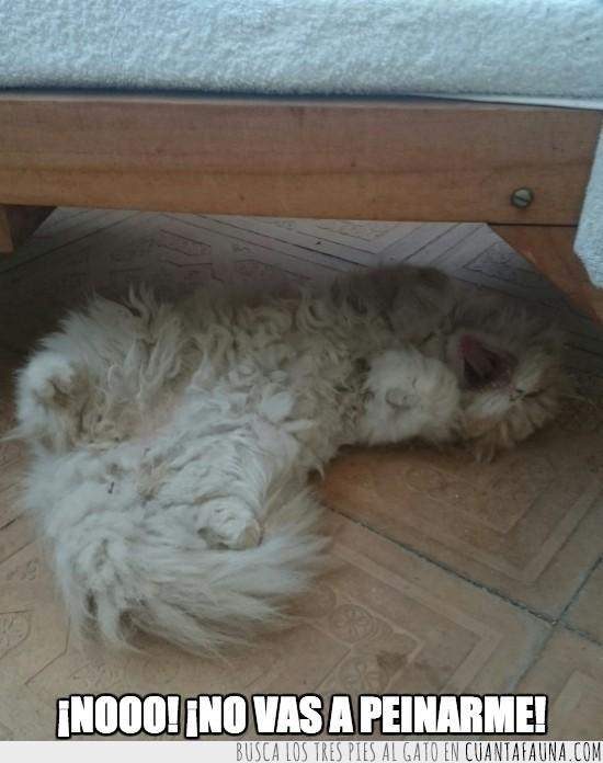 debajo de la cama,esconderse,gato,peinar,persa