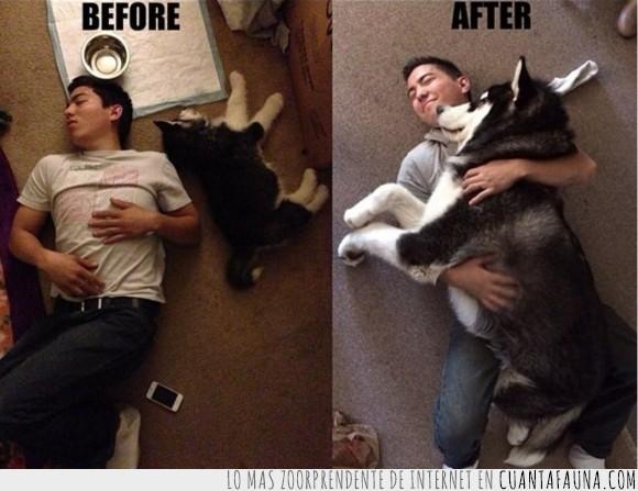 2 meses,7 meses,crecer,diferencia,grande,Husky siberiano,mascota,peludo,perro