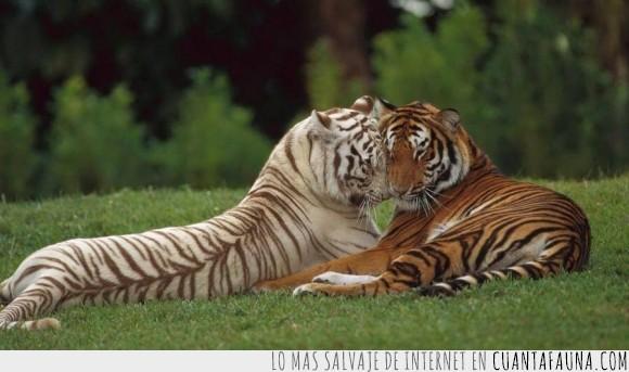 amor,cariño,rayas,rayitas,tigre,tigresa