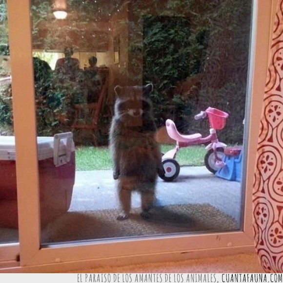 casa,comida,familia,mapache,no es rocket racoon,puerta