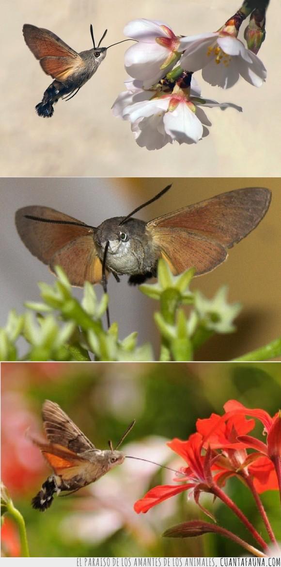 alas,antenas,bicho,colibrí,esfinge,flores,Polilla,volando