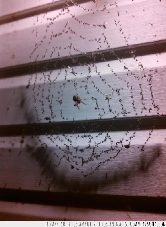 alimento,araña,atrapar,bicho,cazar,comida,insectos,inselcto,pared,presa,telaraña,trampa