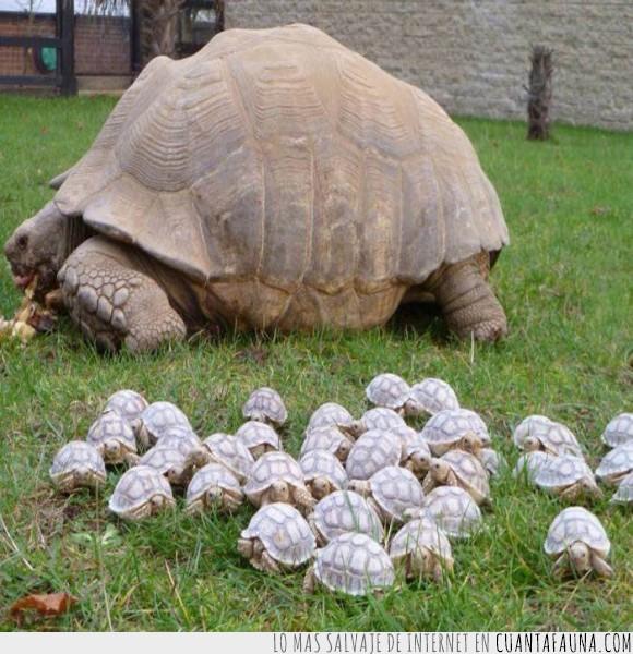 concha,crías,madre,mothership,nave nodriza,pequeñez,tortuga,tortuguita