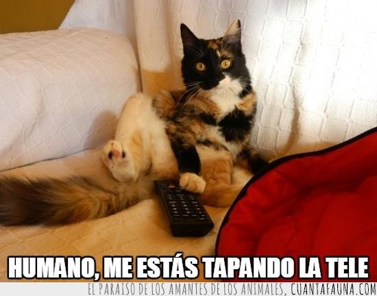 en medio,gato,mando a distancia,tapar,tele