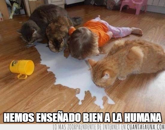 beber,derramar,gatos,leche,niña,suelo
