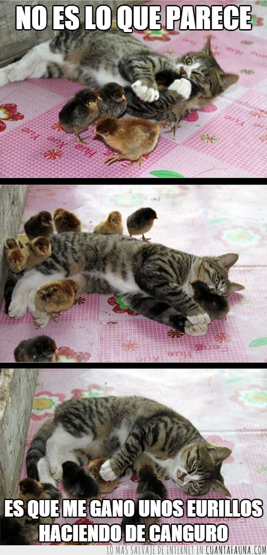 canguro,cuidar,gato,pollitos,vigilar