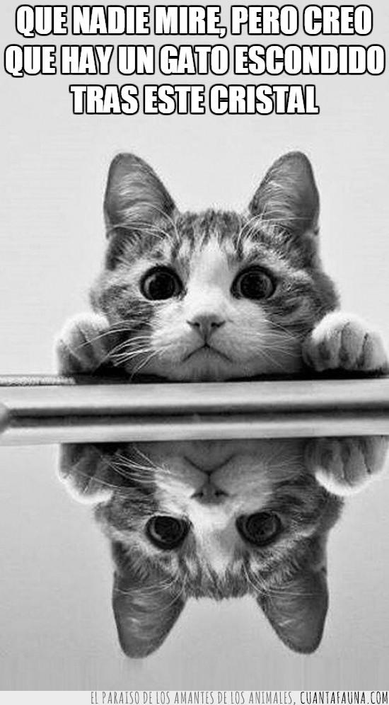 escondido,espejo,gato,mirar,presencia,reflejo