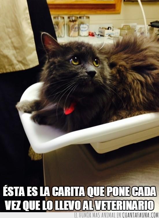 cara,cordero degollado,mirada,triste,veterinario