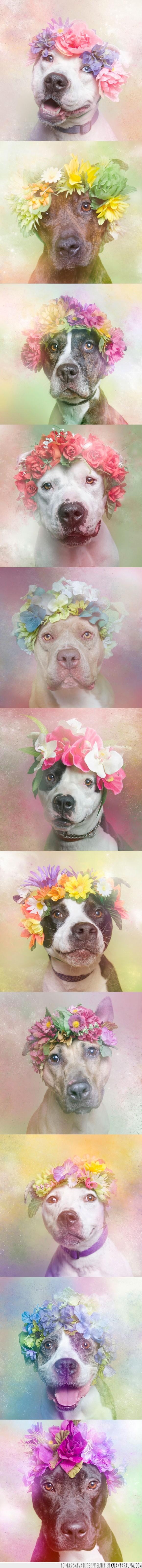 adopcion,adoptar,corona,diadema,dulce,flores,perro,pitbull