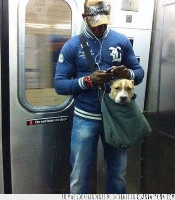 amo,cachorro,guardar,metro,perro,pitbull,subterráneo,tranquilo,viaje