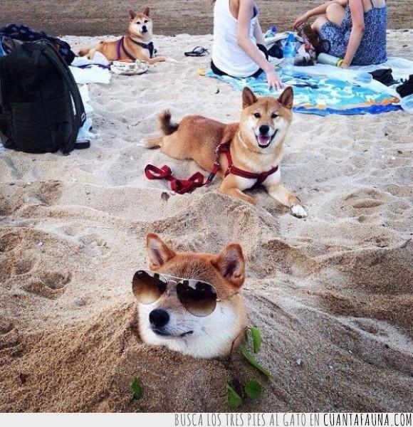 akita,arena,can,cánido,doge,enterrado,gafas,lentes,perro,playa,shiba inu,swag