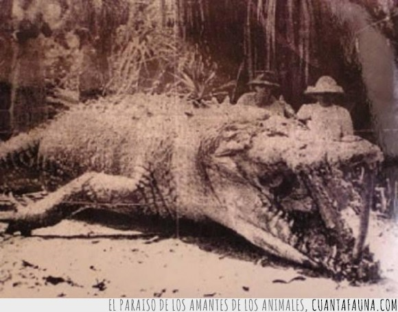animales,australia,bestia,cocodrilo,gigante,grande