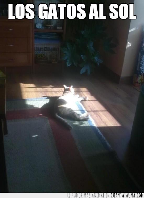 gato,Pepper,salón,siesta,sol,tomar el sol,tumbado
