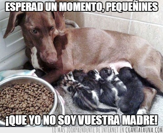 adoptiva,amamantar,cachorros,ella no es!,gatitos,madre,Perra