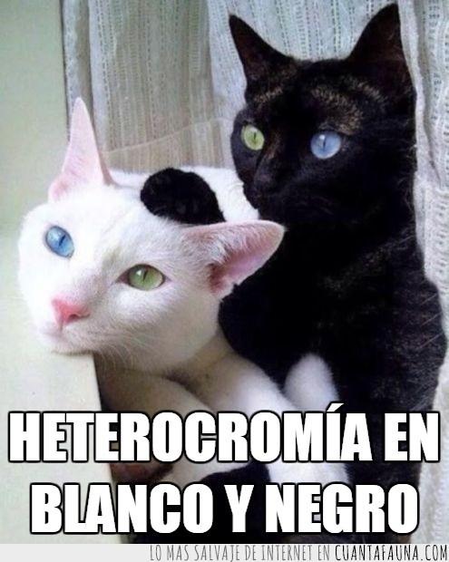 azules,blanco y negro,colores,heterocromia,ojos,verdes