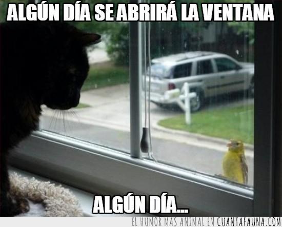 ave,canario,cristal,gato,mirarse,vacilar,ventana
