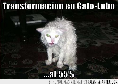 al 55%,gato,lobo,mojado,transformación