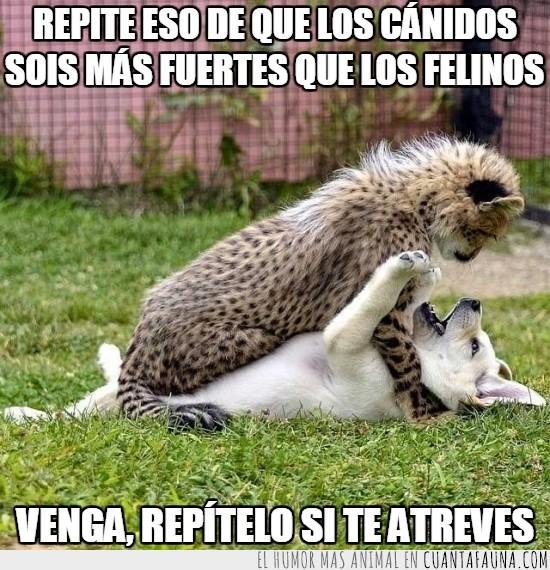 atreverse,batalla,cachorro,canidos,felinos,guepardo,perrito,perro