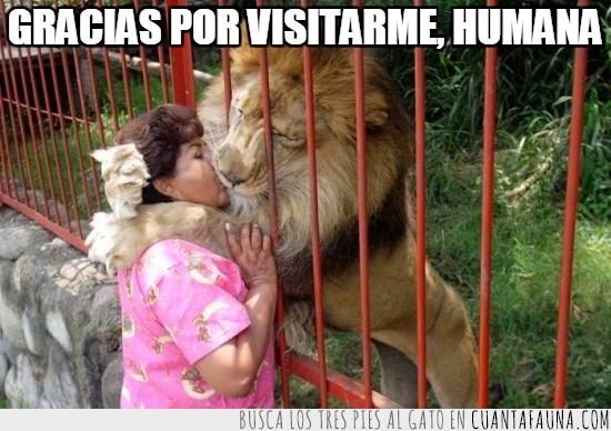 abrazar,besar,gato,grande,humano,jaula,Leon,visitar