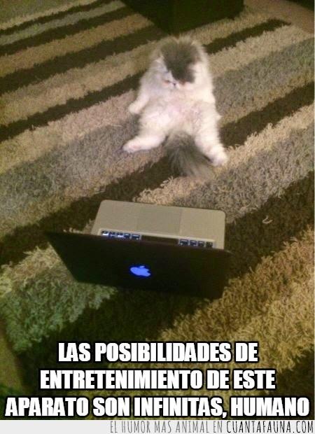 entretenimiento,gato,humano,jugar,mirar,ordenador,portatil,posibilidades