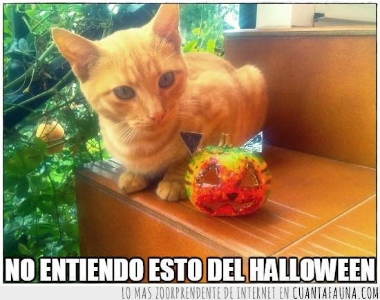 calabaza,gato,Halloween,naranja,Pepper,pose,Samaín