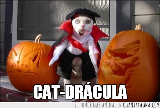calabazas,Conde,disfraz,Drácula,Gato,Halloween,horror,Vampiro