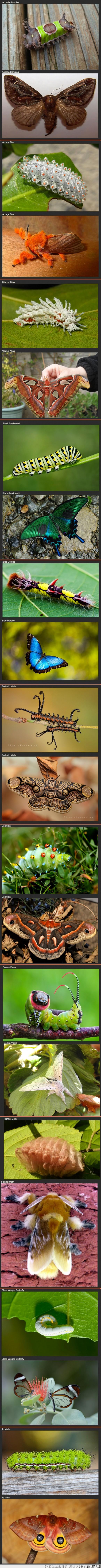 crisalida,mariposa,oruga,polilla,tipo