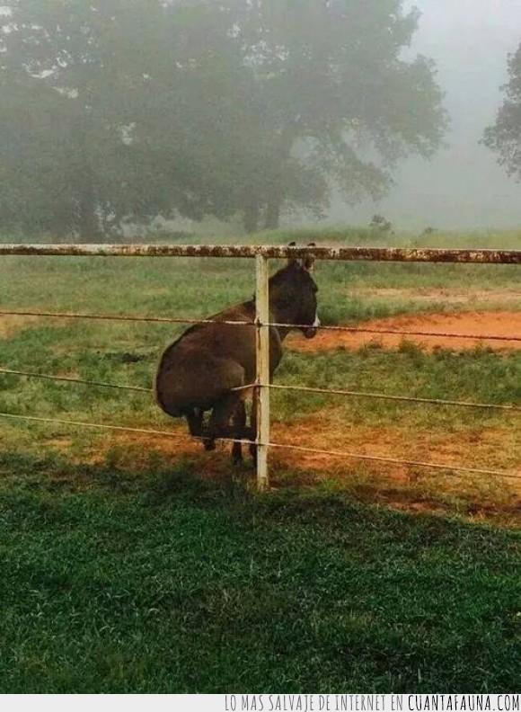 asno,burro,campo,carga,cerca,mula,sentado,valla