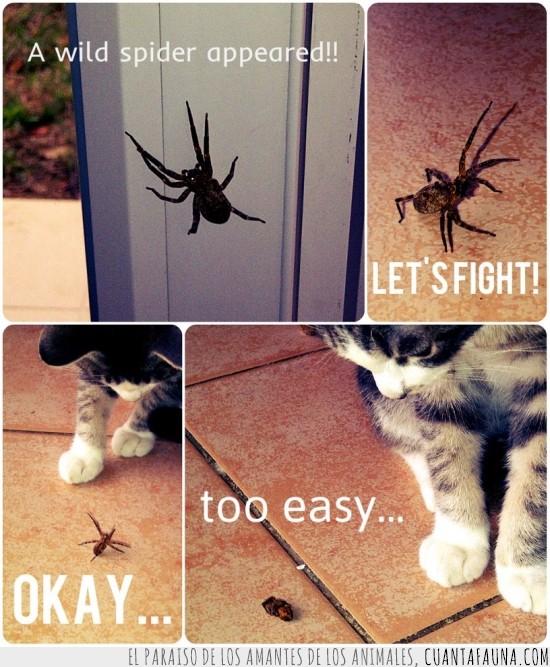 apareció,Araña,combate,ganador gato,Gato,salvaje