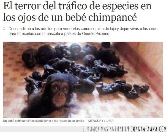 chimpancé,especies,fe,horror,humanidad,humano,mono,persona,tráfico