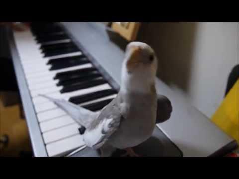 21495 - La cacatúa capaz de cantar la melodía de ''Mi vecino Totoro'', ¡increíble!