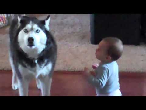 21519 - Este husky imita los sonidos hechos por esté bebé, ¿por qué lo hará?