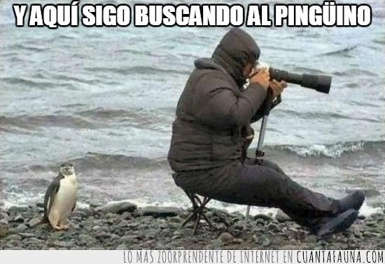 buscar,empanado,fotografo,no se entera,pingüino